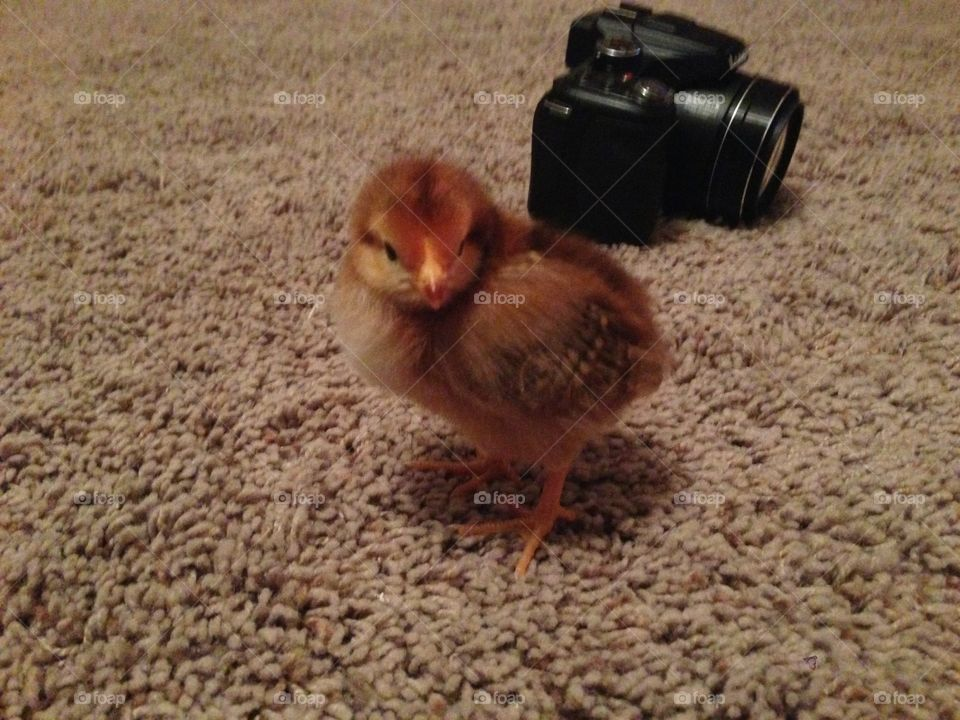 Baby chicken with a camera