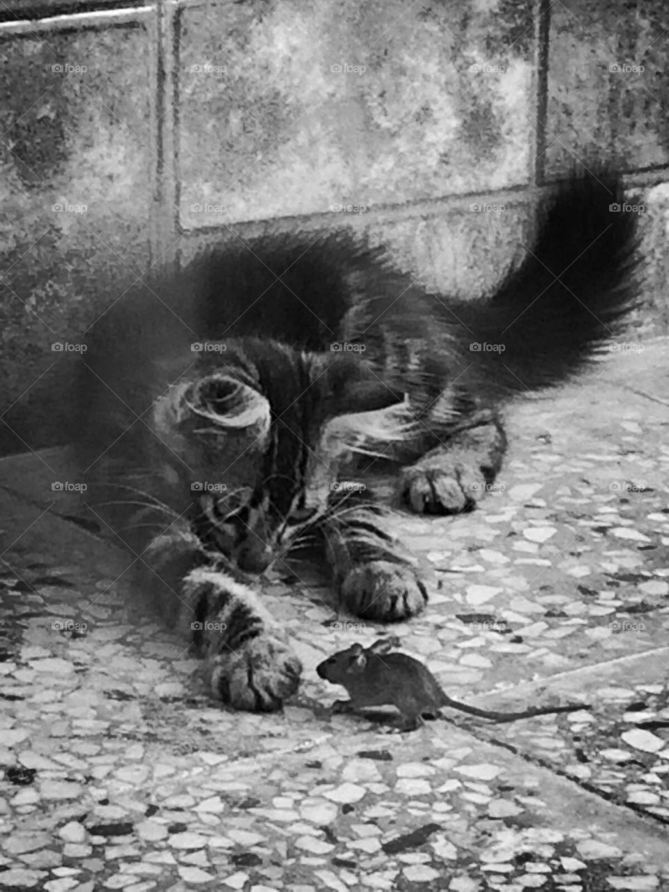 Rat playing with cat or maybe rat self confidence or maybe i don't know it's just the perfect timing of taking the picture