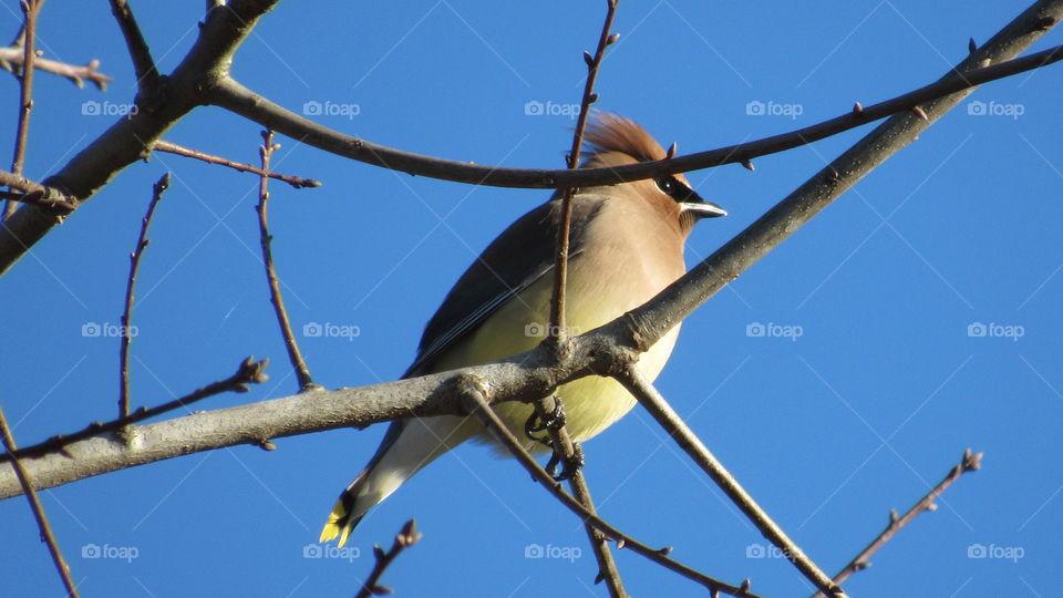 Cedar Waxwing on a oak tree branch