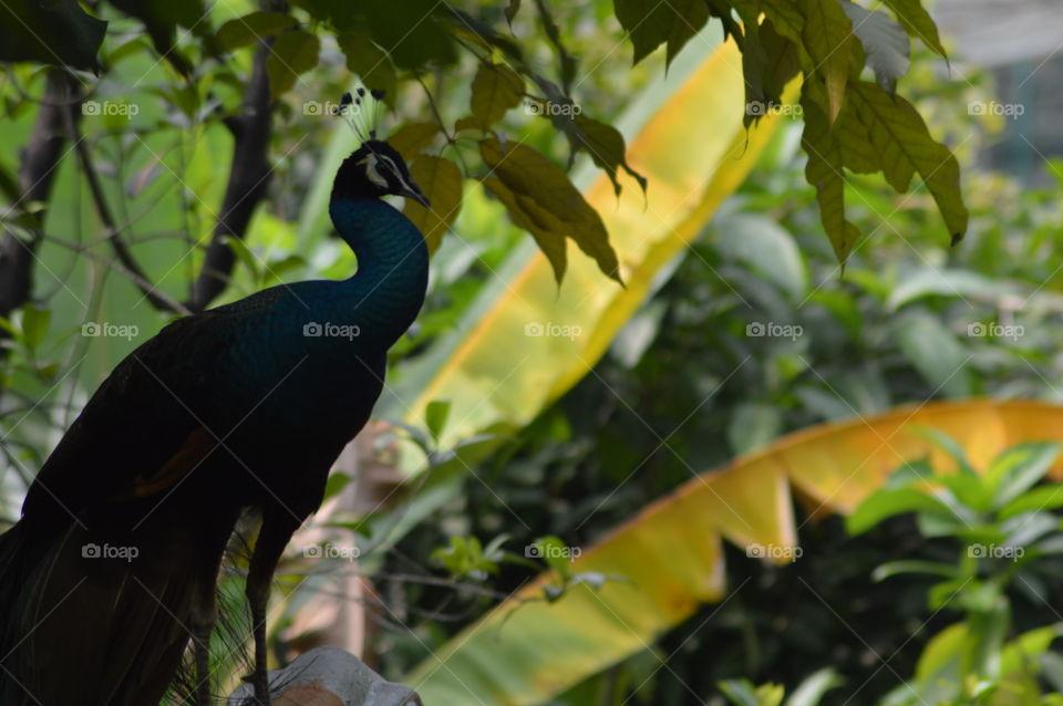 Peacock in woods 2