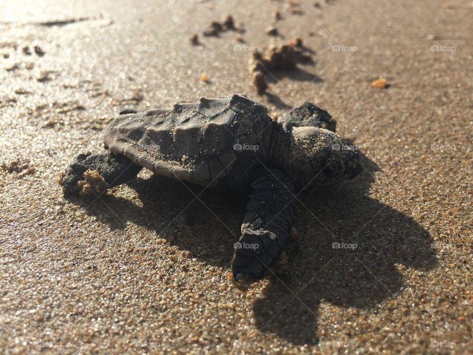 Baby turtle Mon Repo Bundaberg