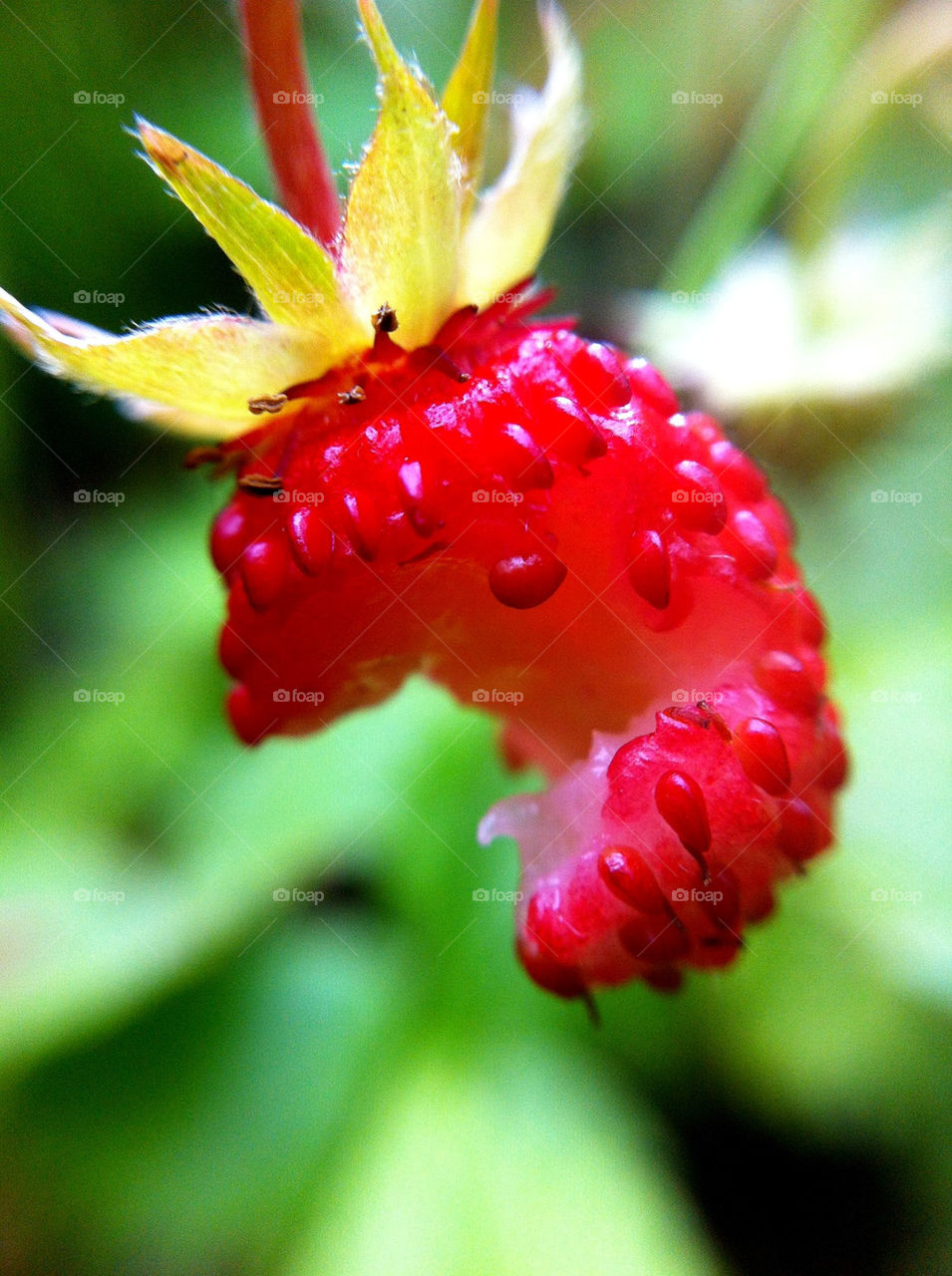 macro red sommar röd by ka71