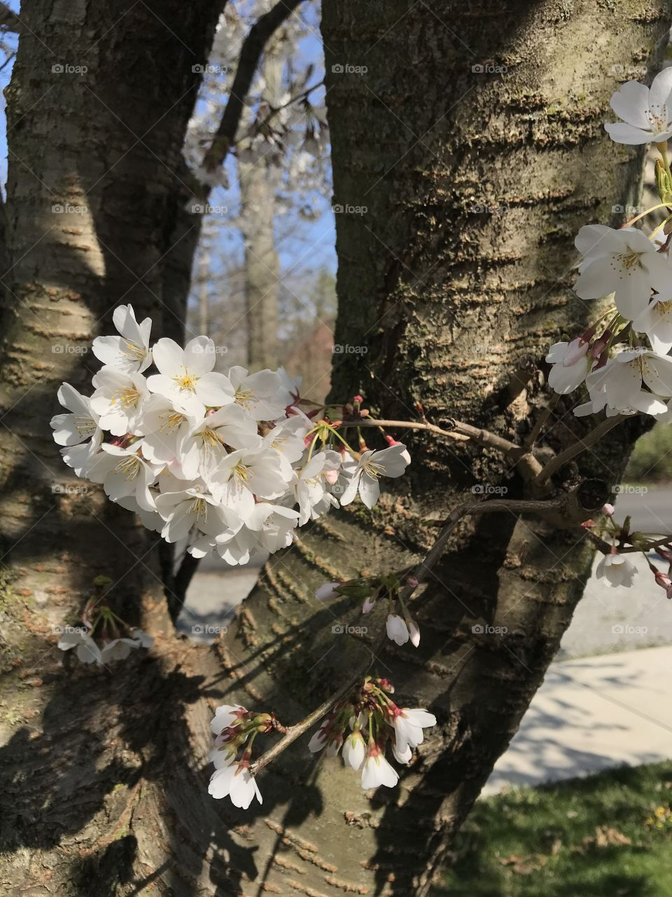 Ohio Crabtree's in bloom during spring