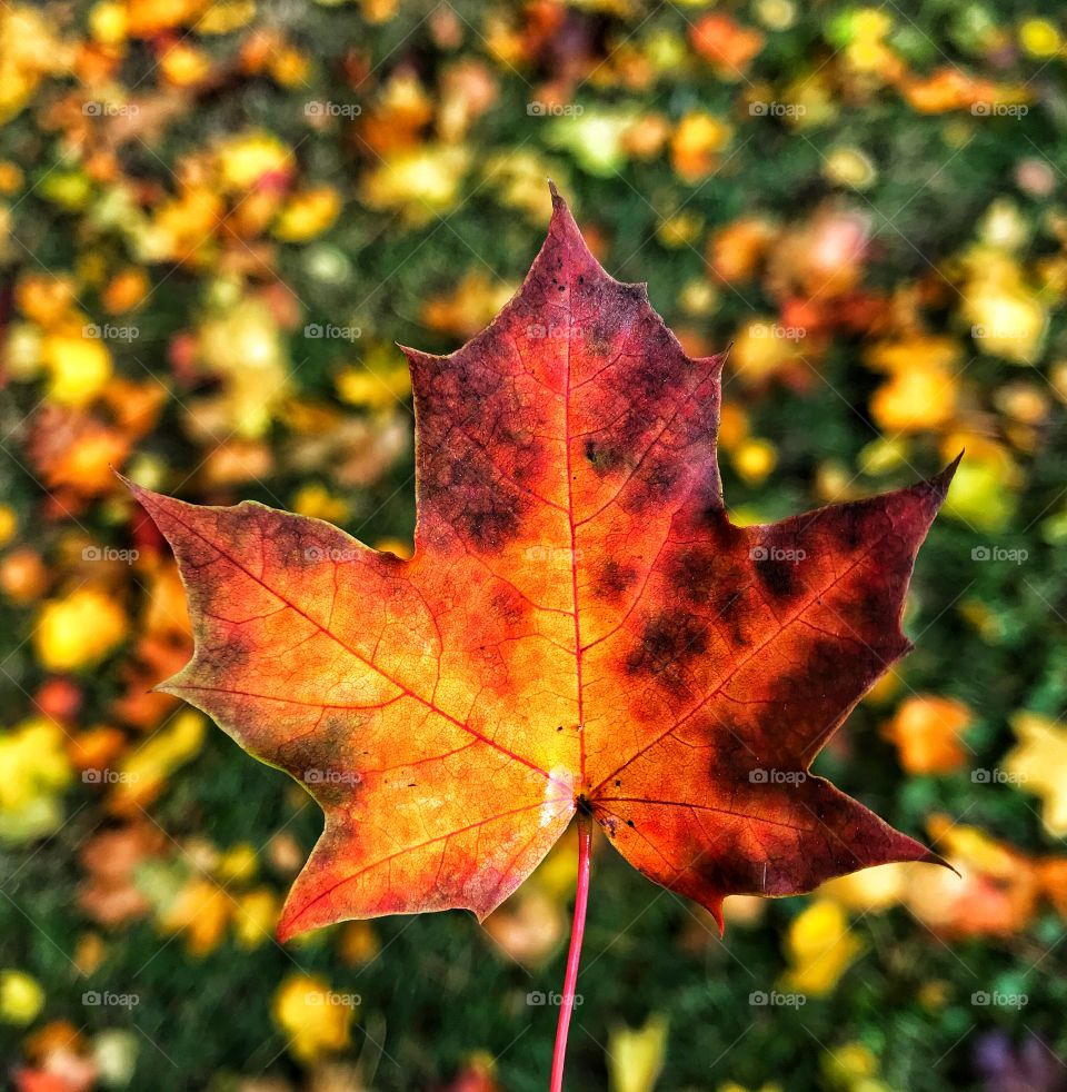 Maple leaf changing color in the fall—taken in Dyer, Indiana