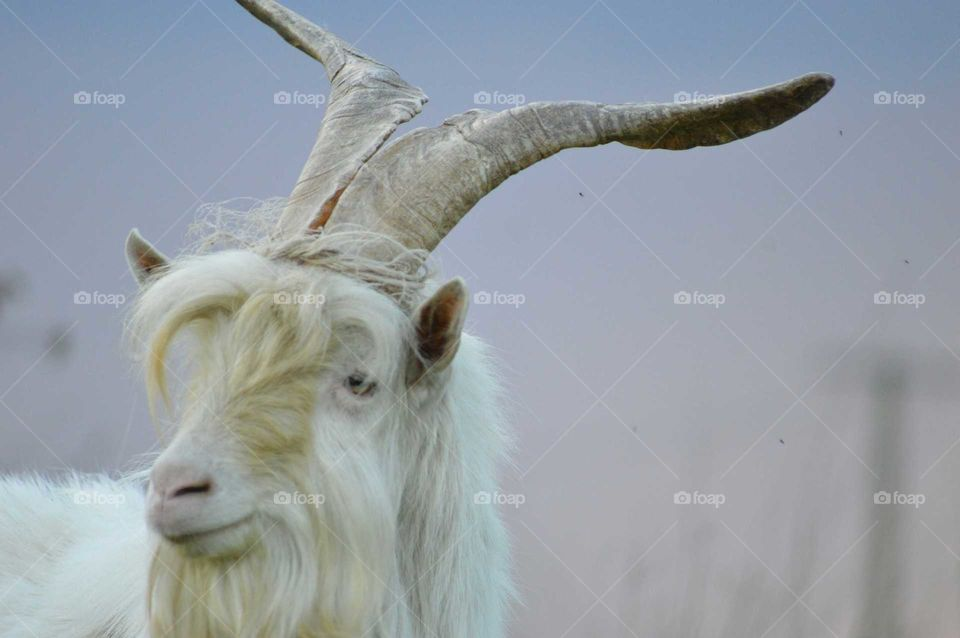 old goat with large antlers