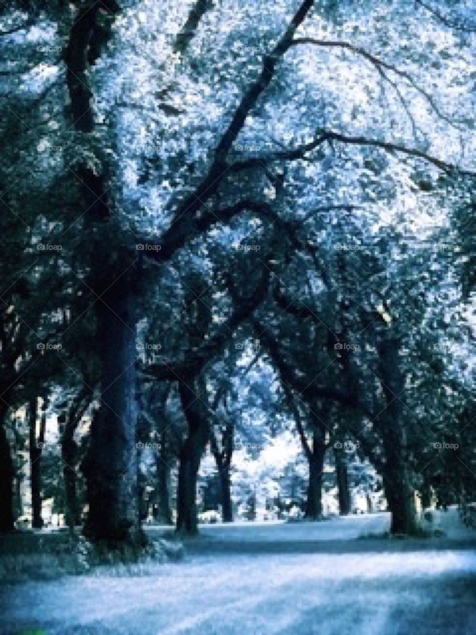 Elm Trees - Central Park, Manhattan, New York City.