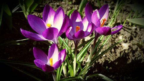 crocus flowers on spring time