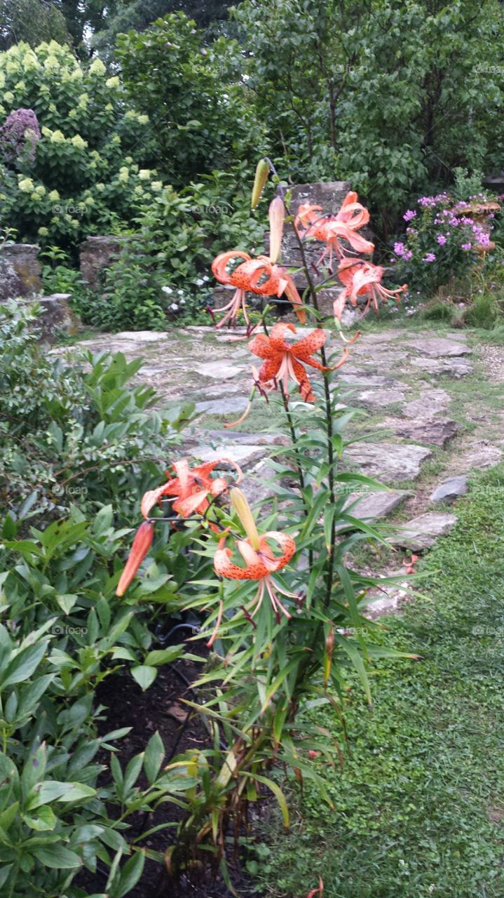 Tiger lily. Beautiful orange tiger  lilies surrounding water garden