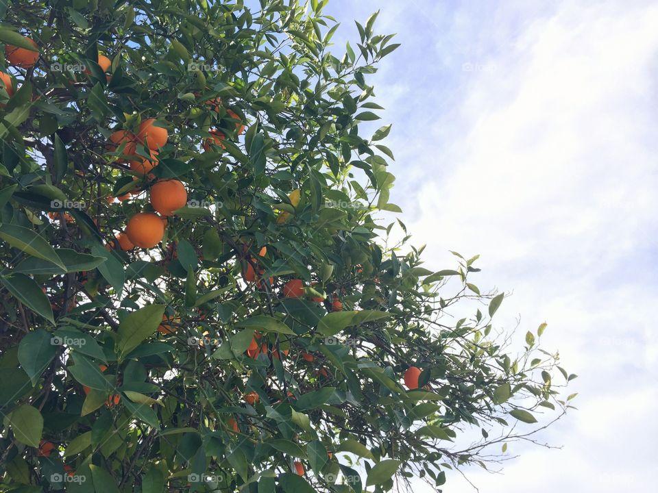 Orange in a tree
