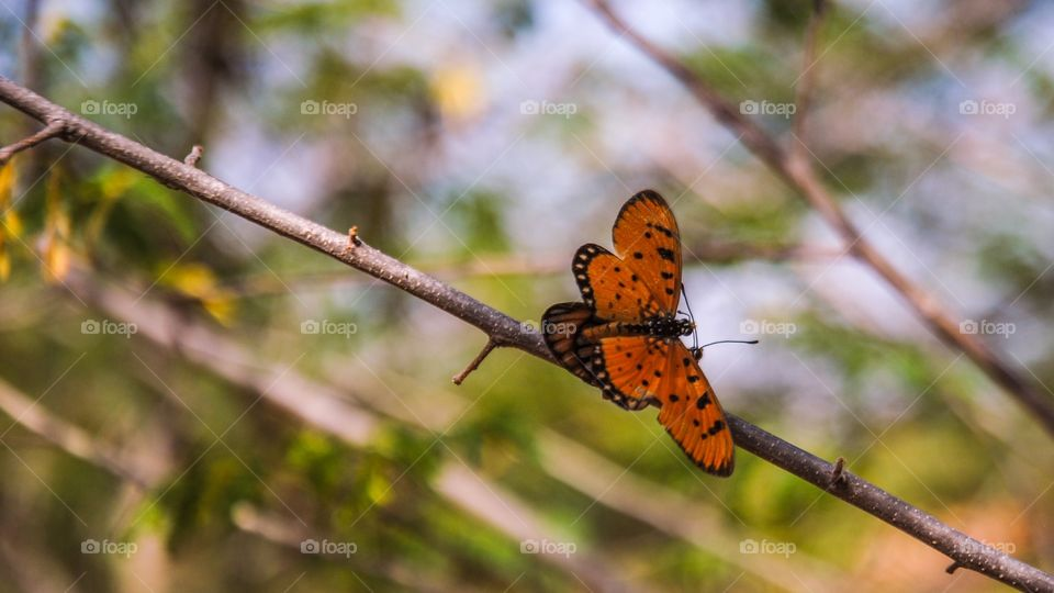 Butterfly mating on the branch