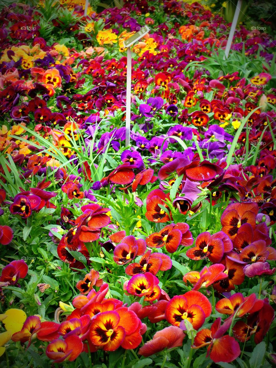 A bright and beautiful bed of purple and yellow pansies.