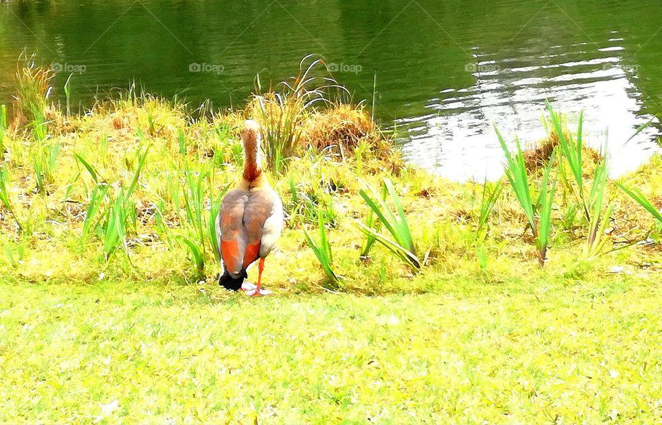 #Andreiaserr #Fallowme #fallow_me #lake #duck #relax #moment #observacion