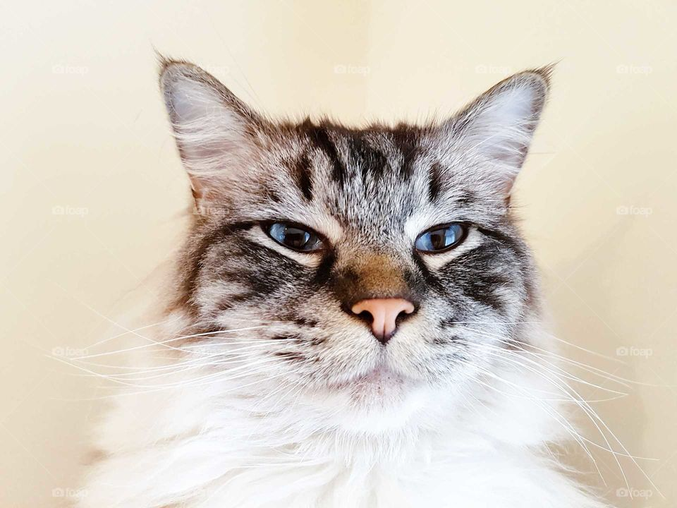 Fluffy long haired cat portrait