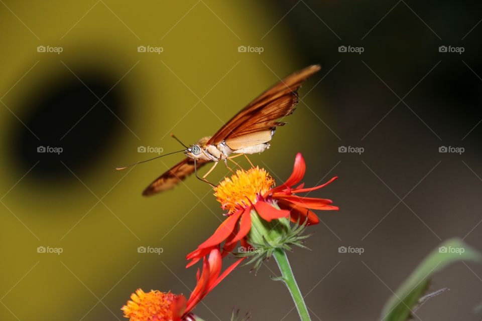 A butterfly ready for takeoff from a flower