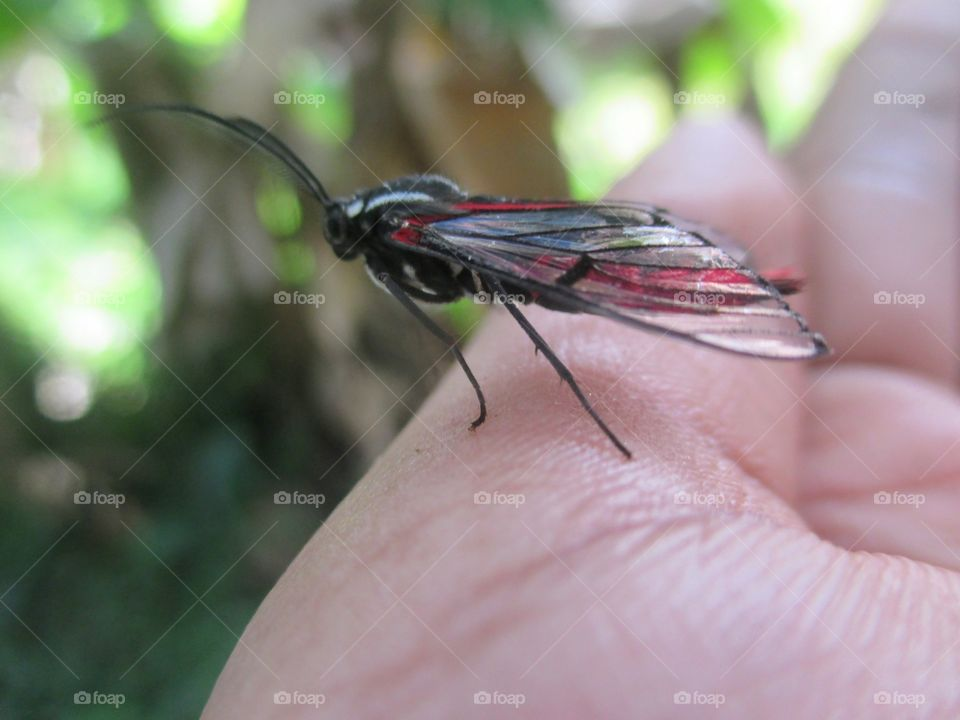 Scarlet tipped wasp moth