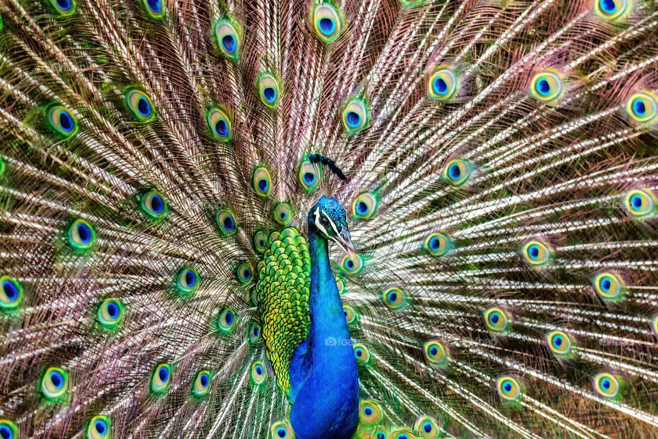Peacock Doing its Thing