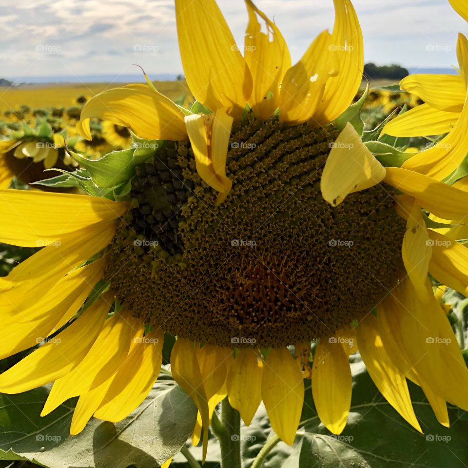 Sunflower in field summer day