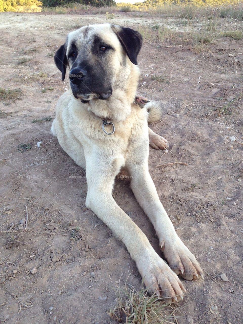 Foap com: Sivas Kangal Dog stock photo by kangalmaster