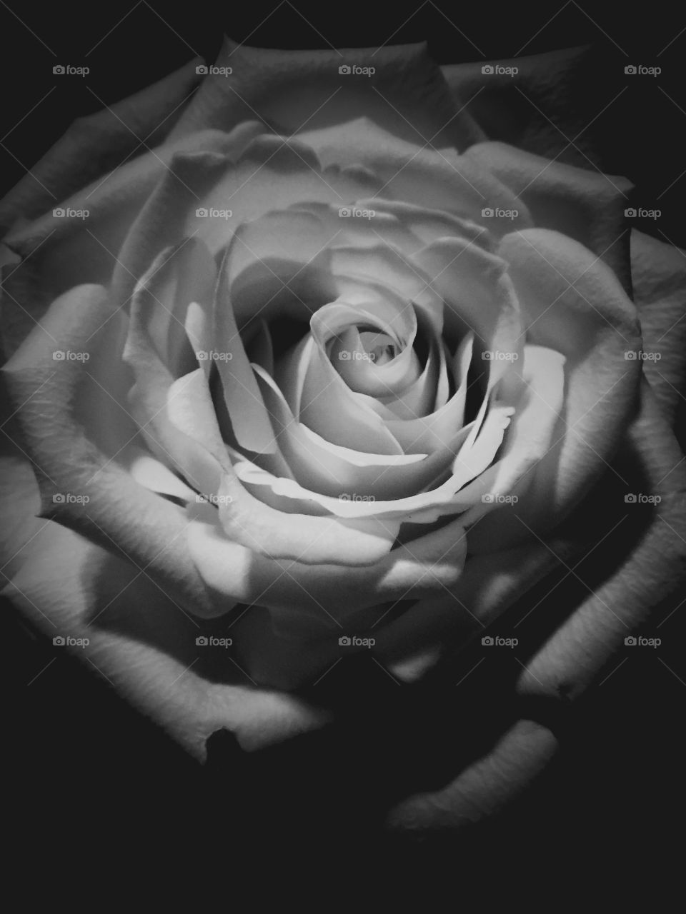 Black and white rose picture