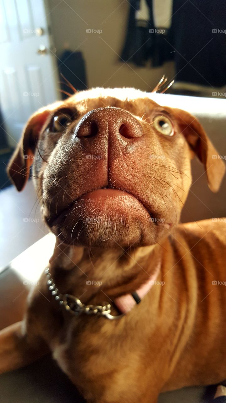 Portrait of a brown dog