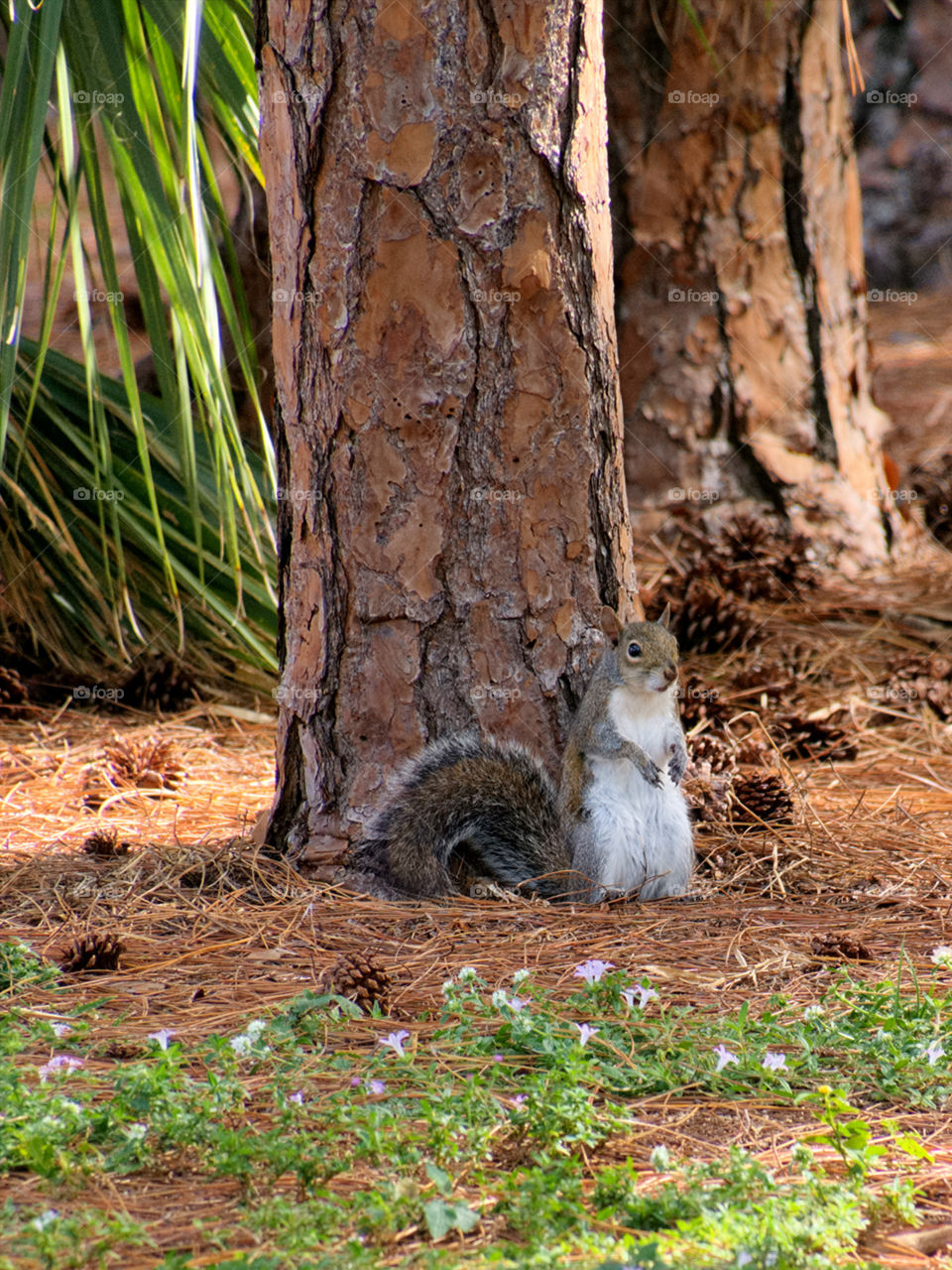 Upright. Grey squirrel standing upright at base of tree