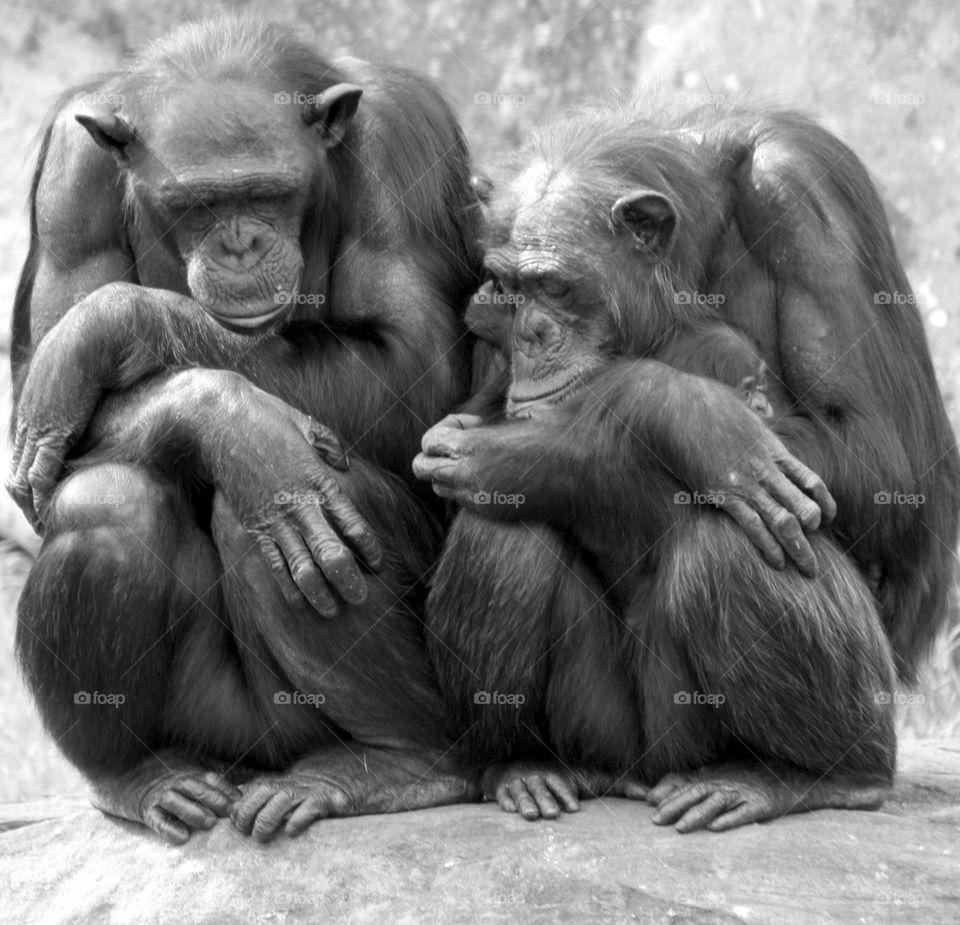 Chimpanzee family sleeping
