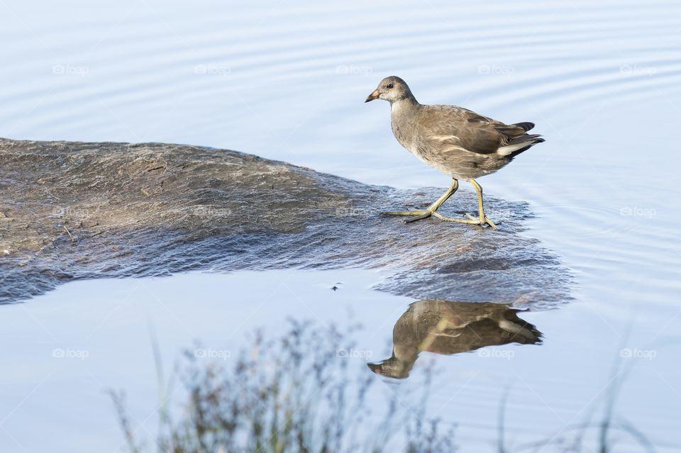 Juvenile Coot bird water reflection , sothöna ung fågel vatten reflektion
