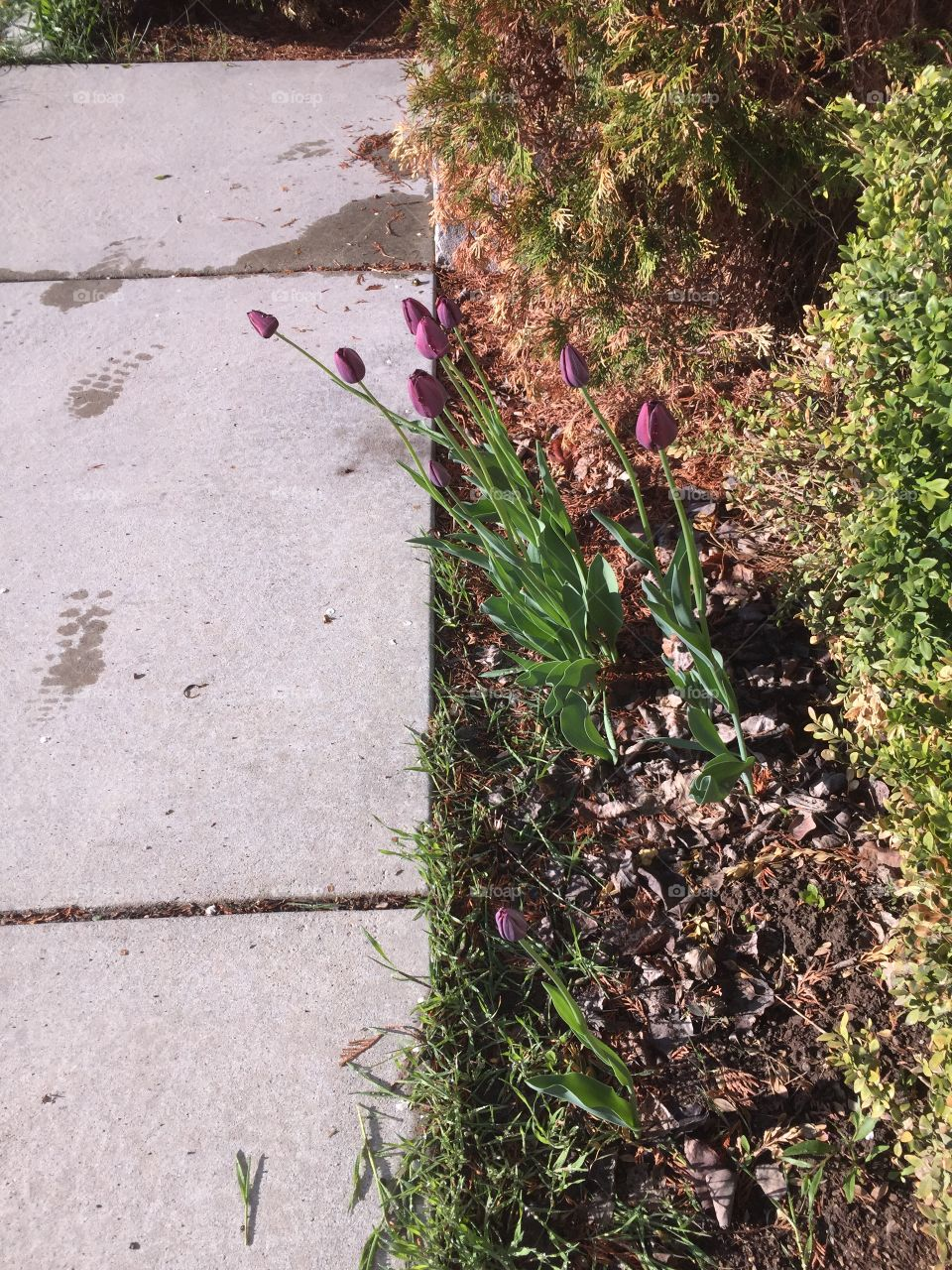 The Path of Life, The Path of Tulips