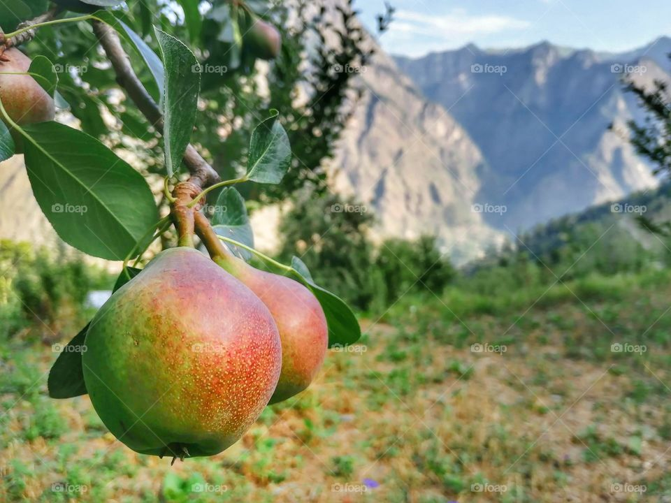 Pear Fruit hanging on branch and beautiful hilly background.