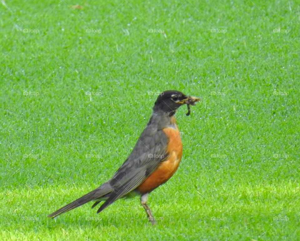 Robin-bird