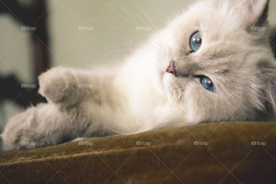 Pet resting on carpet