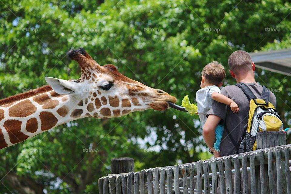 Dad and son feeding giraffe