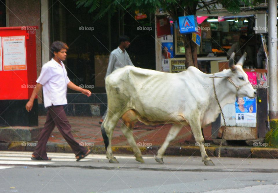Where cows are sacred but decayed. In the streets of Mumbai, India