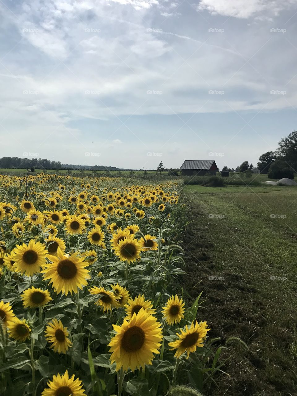 Sunflowers at Red Eagle