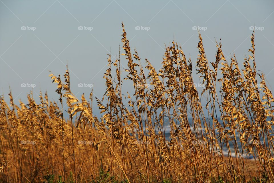 wheat by the sea