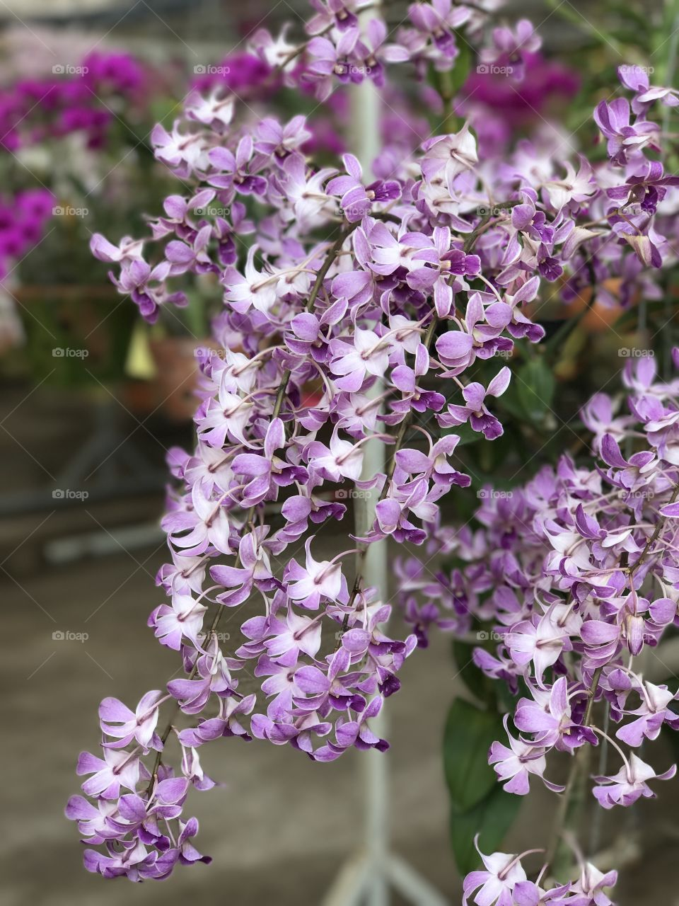 Bunch of Thai orchid flowers
