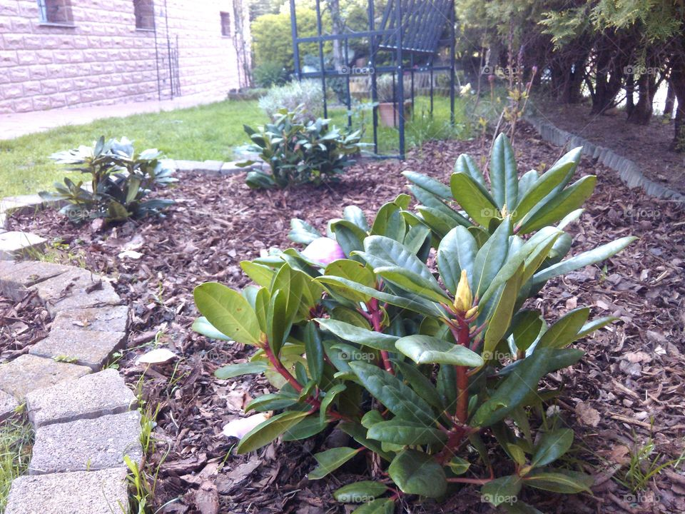 rhododendron. plants in the garden