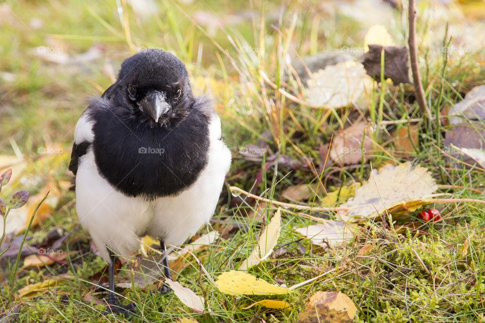Magpie black white bird  - looking at you  - skata tittar rakt fram