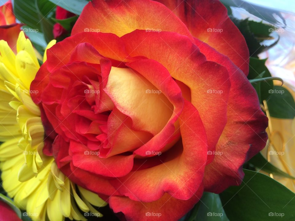 Red orange yellow rose