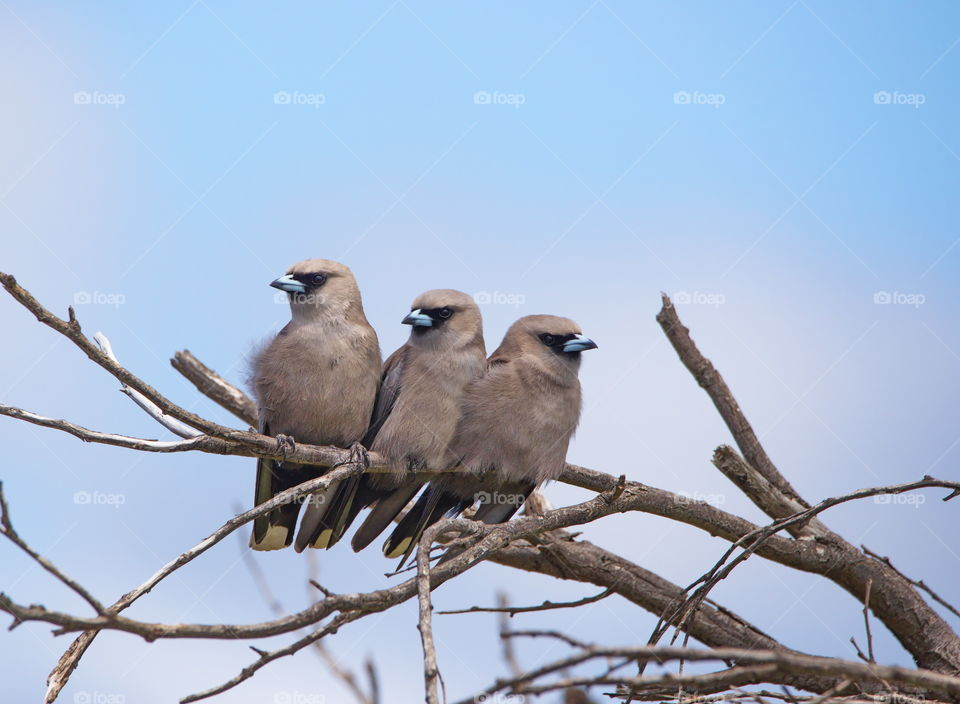 Wood swallows side by side in a tree