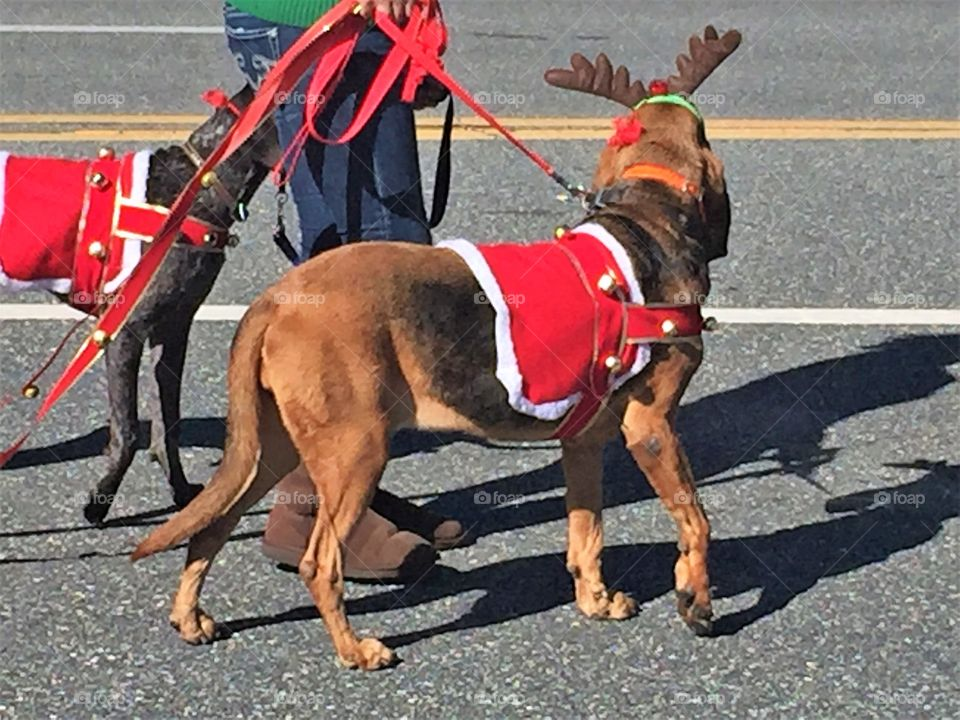 Walking the dogs in a parade