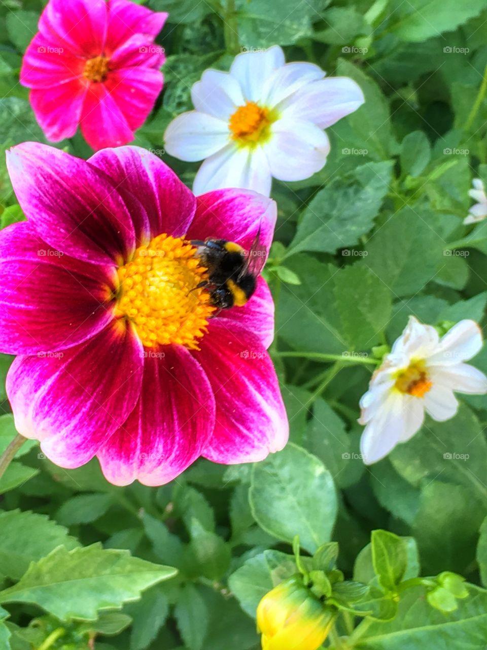Bee on dahlia flowers