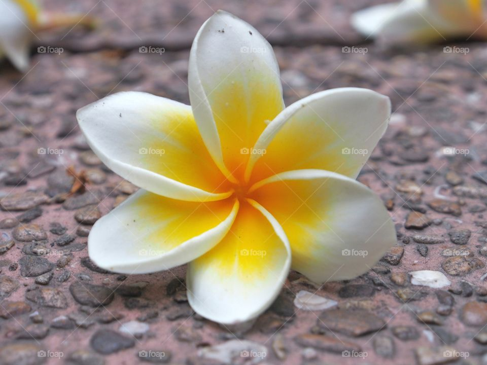 Close up of Frangipani flower on the floor