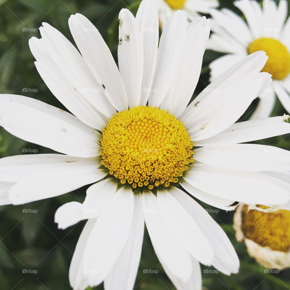 High angle view of daisy flower