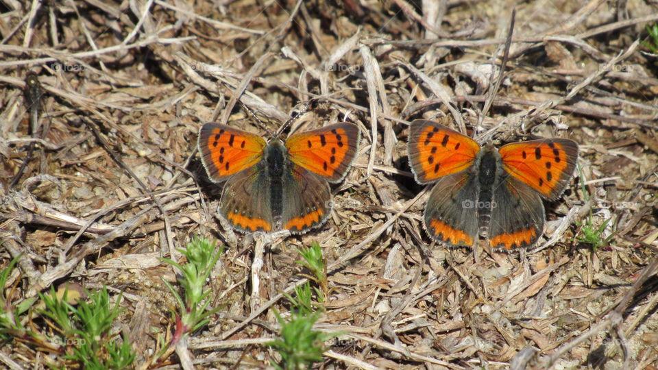 A pair of American Copper butterflies