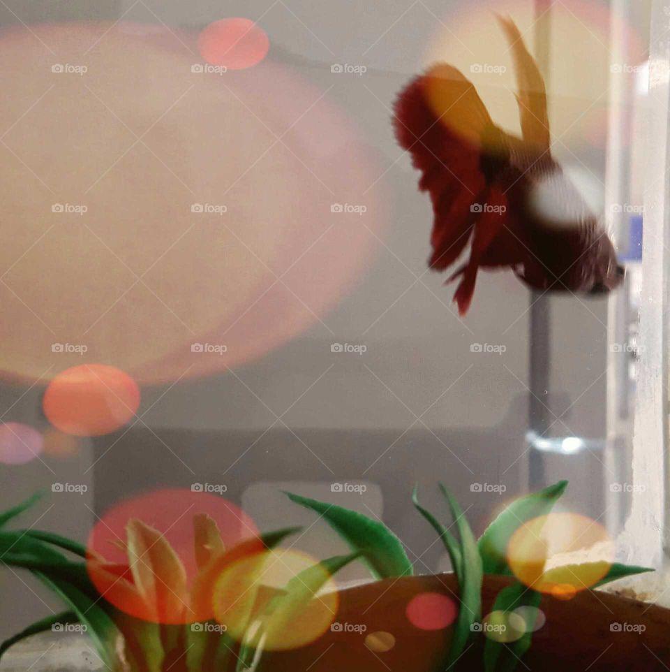 Aquario com um peixe beta. Vermelho, solitario, nadador. Deixa a casa mais alegre com sua presenca!