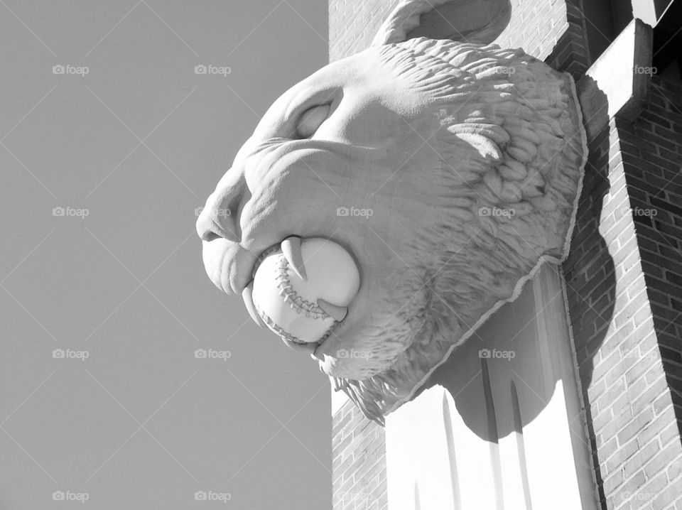 Tiger Stadium. Photo taken in Detroit of tiger with baseball in mouth.