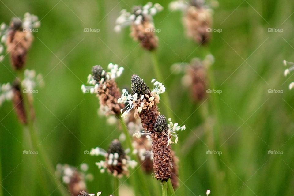 Wild Flowers. Ribwort plantain - plantago lanceolato- lambs tongue