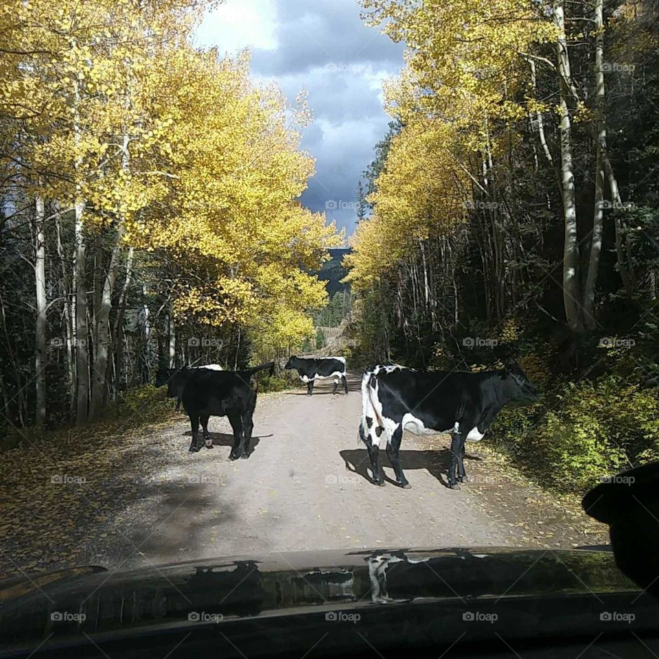 cows on the road on missionary ridge