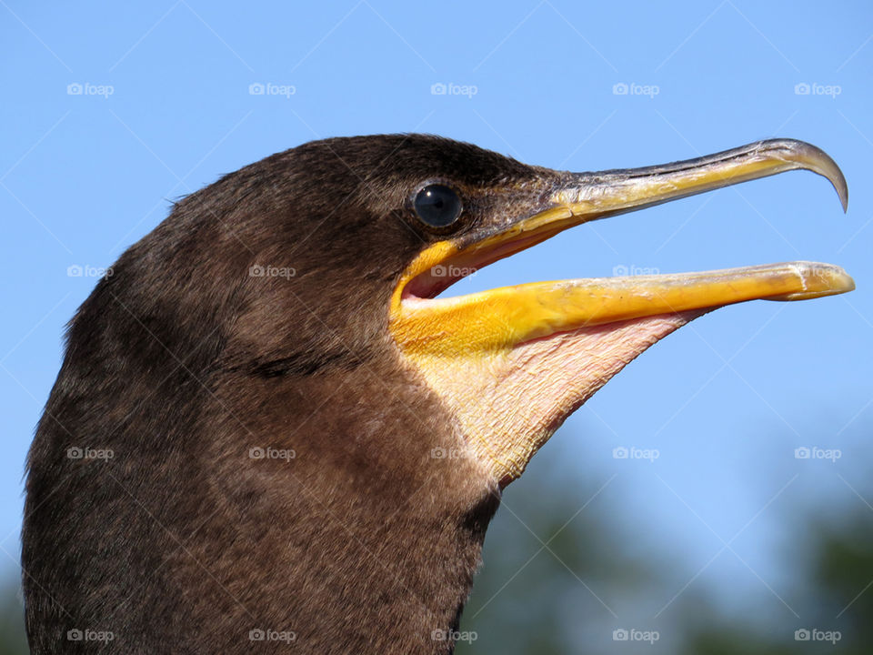 Double-crested Comorant Extreme Closeup . Extreme closeup of Double-crested Comorant in profile with beak open